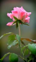 Rise of the Rose by t3amo