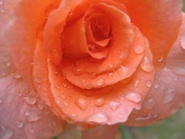 Raindrops and Rose 2 by VittorioMatteo
