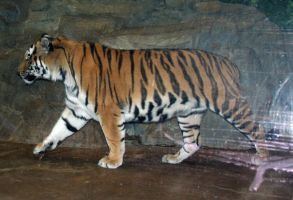 Denver Zoo 52 Tiger by Falln-Stock