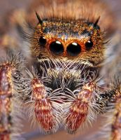 Phidippus princeps 3 by Blaklisted