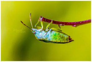 Common Shield Bug by KandyKunt