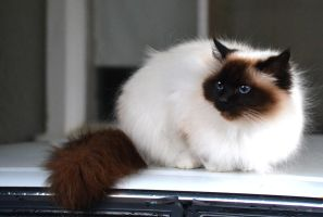 Birman Cat Stock 1 by jojo22