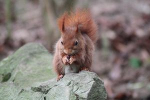 Red Squirrel by Citron--Vert