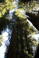 Redwoods by Kage-Kaldaka