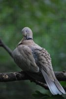 ring-necked dove 1.2 by meihua-stock