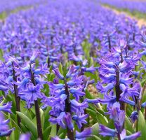 Spring Flowers Holland III by Jenvanw