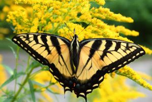 Eastern Tiger Swallowtail by natureguy