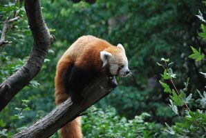 red panda 1.13 by meihua-stock