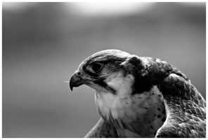 M227 :: Peregrine by mr-MINTJAM