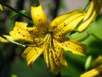 Freckled Yellow Lily by Kitteh-Pawz