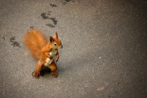 Squirrel 1 by Castia