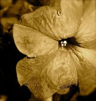 Part II purple petals- sepia by Meeb98