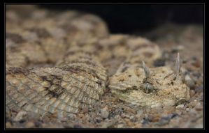 Horned Viper by oOBrieOo