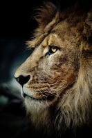 Lion by AnimusPhotography