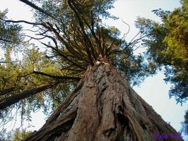 California Redwood by Lithe-Fider