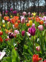 tulips and more tulips by remmy77