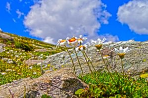 daisys by Willihelm