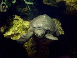 pig nose turtle by Pickyme