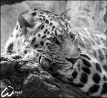 Amur leopard: sad blue eyes by woxys