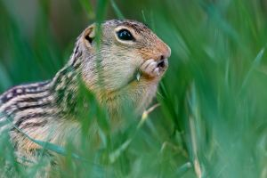 13-lined Ground Squirrel -Hidden Treasures by JestePhotography