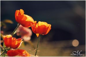 poppy love. by MartinaPhotography