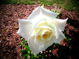 White Beauty.7 by Jazminian9