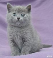 Chartreux Kitten by AvaTheCat201