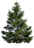 PINE TREE PNG by Moonglowlilly