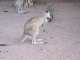 Stock: Wallaby 2 by equizotical
