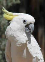 Sulfur Crested Cockatoo by I-Heart-Photos