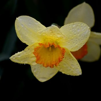 a spring Daffodil in my front yard by Jud-W
