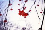 Winter berries (1) by LicamtaPictures