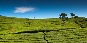 Tea Plantations II by eyesweb1