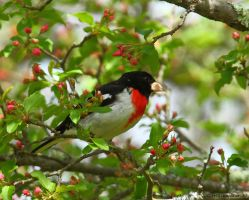 Rose Breasted Grosbeak 2013 by natureguy