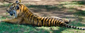 Tiger 04 by Indefinitefotography