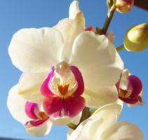 whiteand pink  orchid by riviera2008