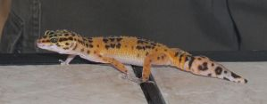Juvenile Leopard Gecko 2 by magenta-stock