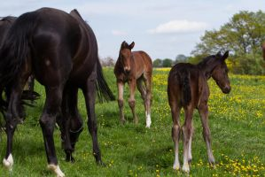 Bay Foals Making Friends Say Hello by LuDa-Stock