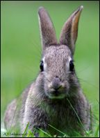 Its That Wabbit Again by andy-j-s