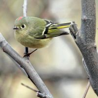 Kinglet Revealed by clippercarrillo