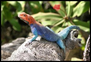 Blue Lizard by timlori