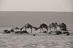 Camels by amai911