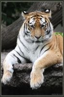 Amur Tiger 18 by Globaludodesign