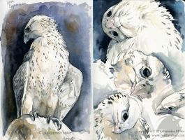 Immature Gyrfalcon Studies by Nambroth