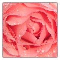 Single Pink Rose by afox2004
