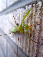 preying mantis by LoLo-Lauren