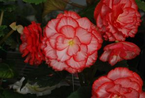 Begonia by Wraypark