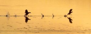 Two Coots by JurgendeWitte