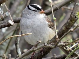 White crowned sparrow by Nipntuck3