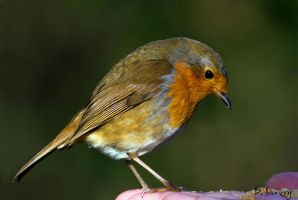 Robin on the hand by Slinky-2012